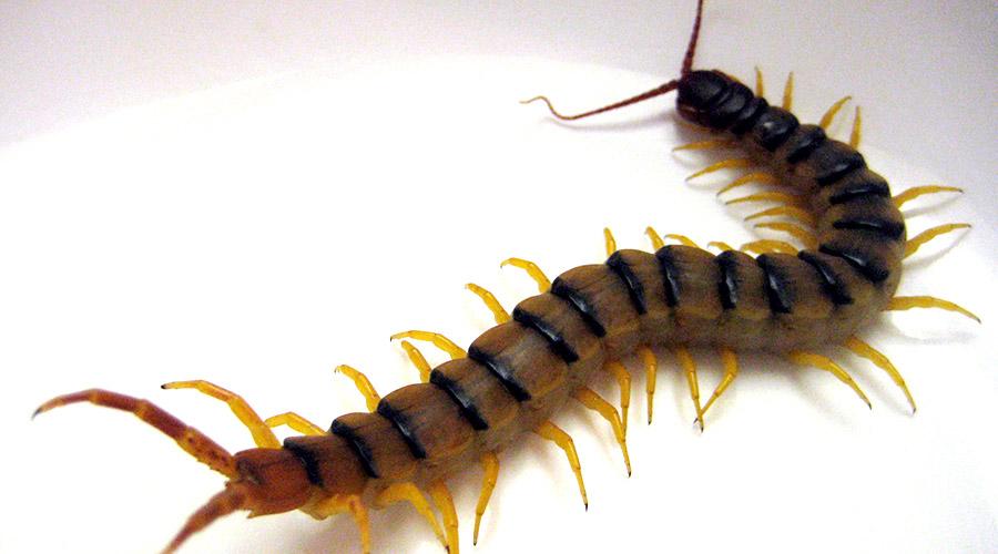 Centipedes - Exterminator Direct